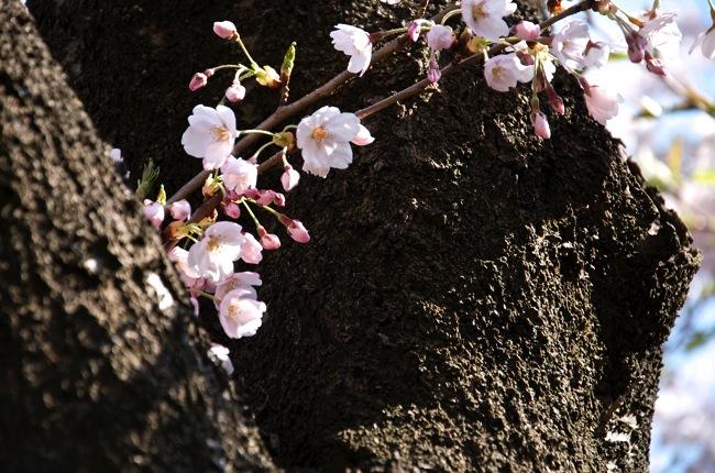 子供とのんびり。草生津川沿いの桜並木はオススメ休日散歩スポット - r9秋田便 vol.07